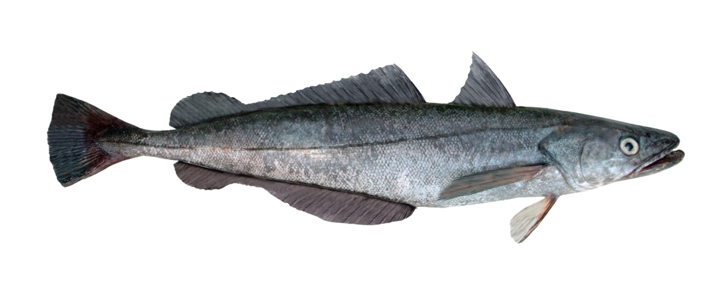 Hake from FIFCA