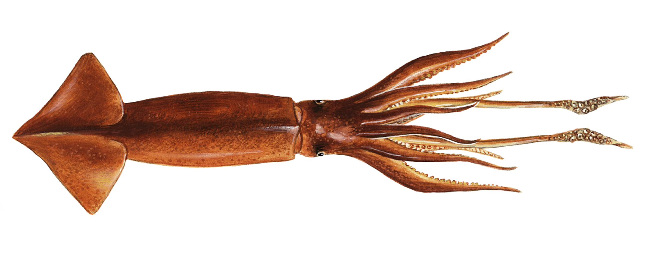 Illex Squid from FIFCA