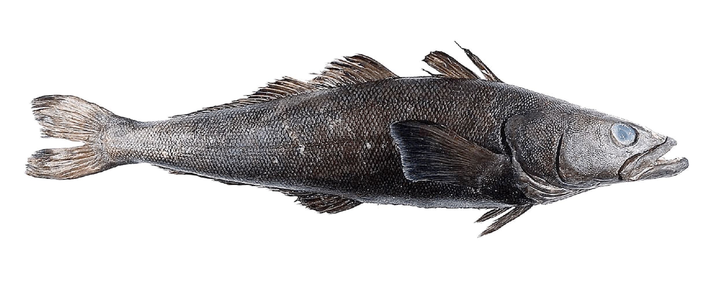 Patagonian Toothfish from FIFCA