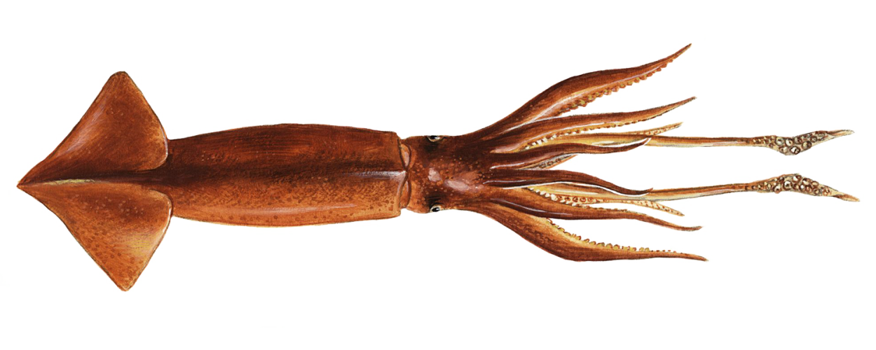 Illex Squid - FIFCA